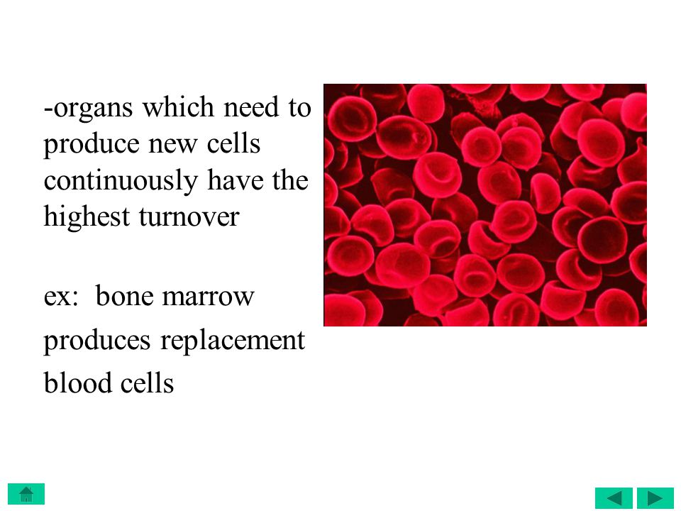 -organs which need to produce new cells continuously have the highest turnover
