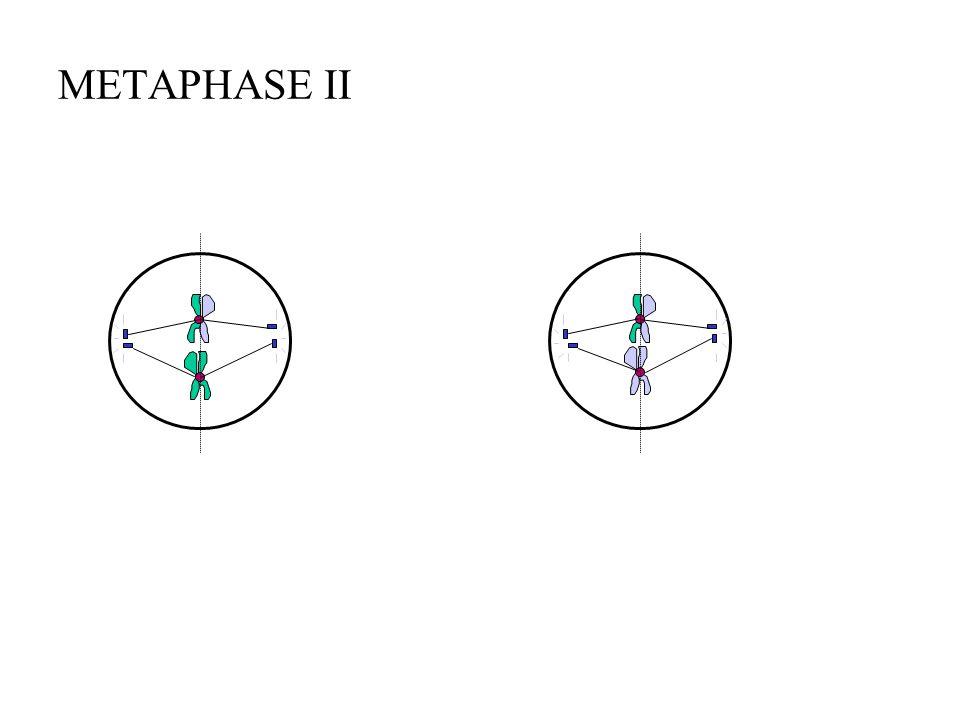 METAPHASE II