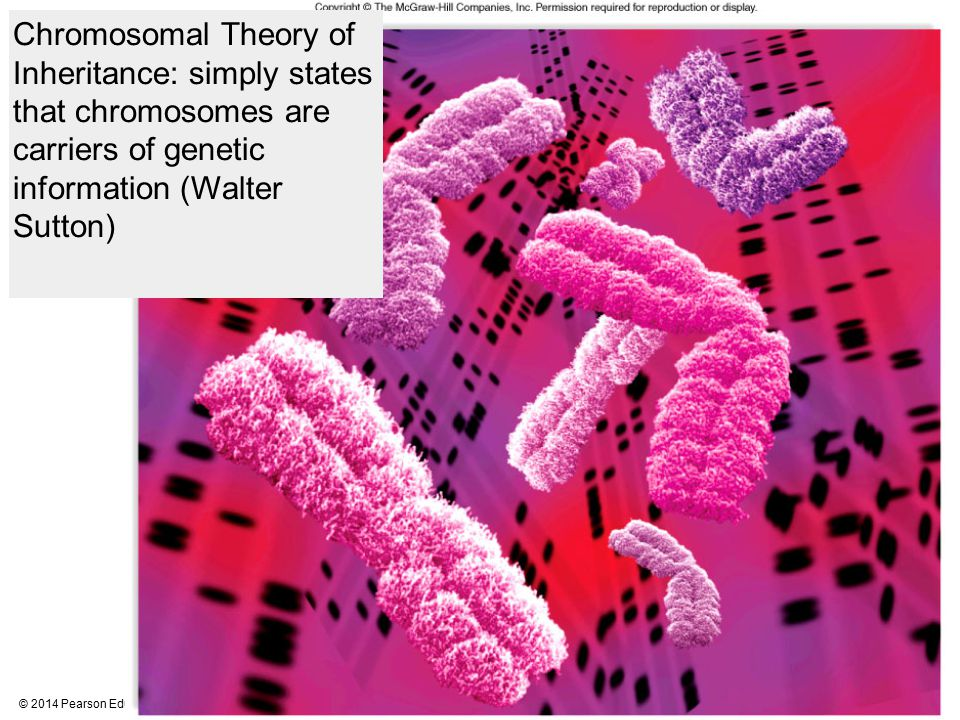 Chromosomal Theory of Inheritance: simply states that chromosomes are carriers of genetic information (Walter Sutton)