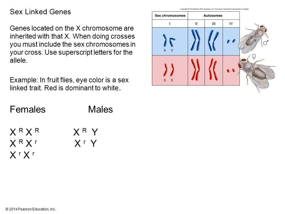 Females Males X R X R X R Y X R X r X r Y X r X r Sex Linked Genes