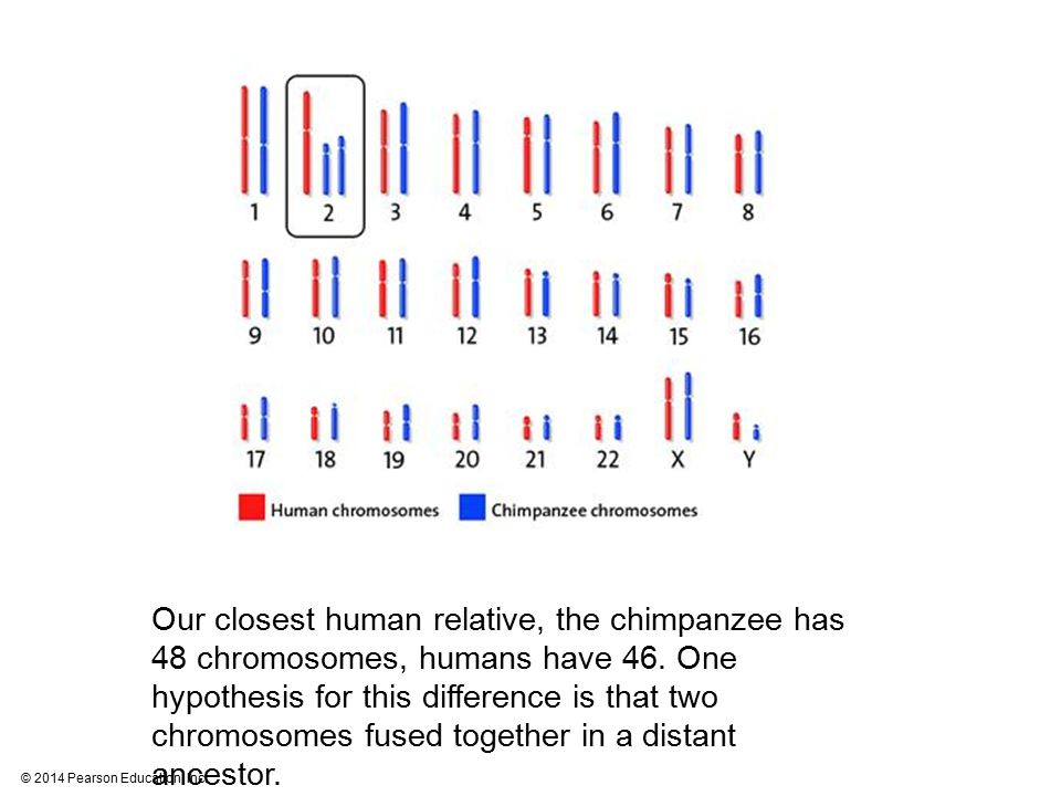Our closest human relative, the chimpanzee has 48 chromosomes, humans have 46.
