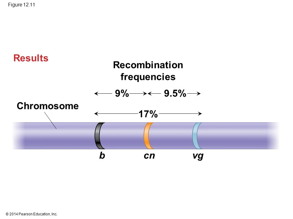 Results Recombination frequencies 9% 9.5% Chromosome 17% b cn vg