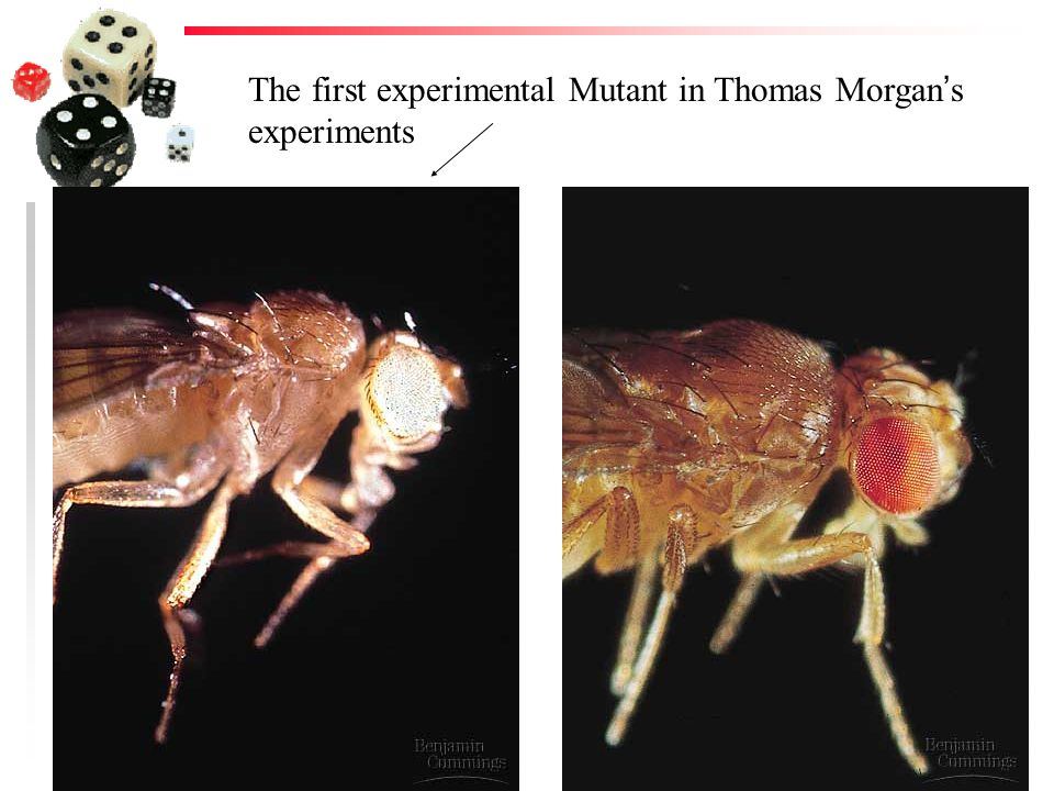 The first experimental Mutant in Thomas Morgan's experiments