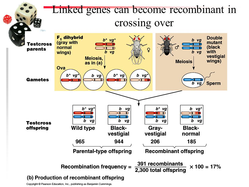 Linked genes can become recombinant in crossing over