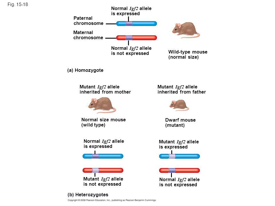 Normal Igf2 allele is expressed Paternal chromosome Maternal