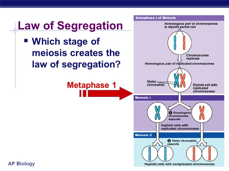 Law of Segregation Which stage of meiosis creates the law of segregation Metaphase 1