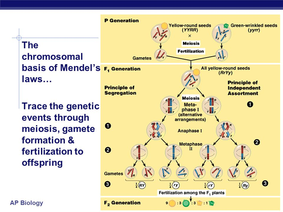 The chromosomal basis of Mendel's laws…