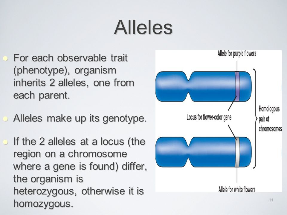 Alleles For each observable trait (phenotype), organism inherits 2 alleles, one from each parent.