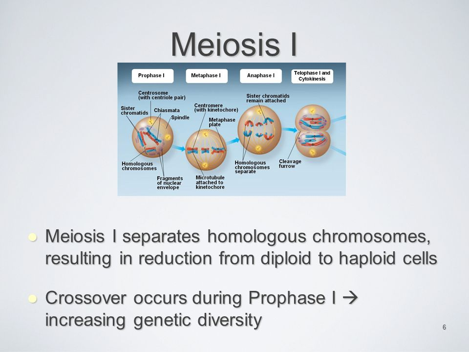 Meiosis I Meiosis I separates homologous chromosomes, resulting in reduction from diploid to haploid cells.