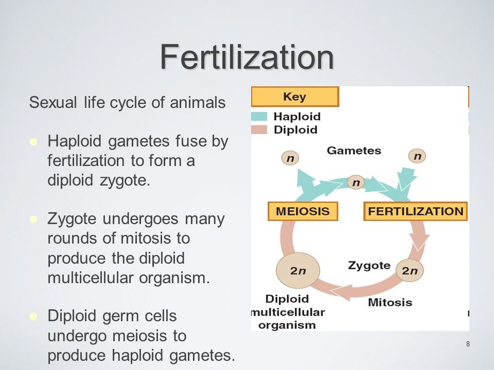 Fertilization Sexual life cycle of animals