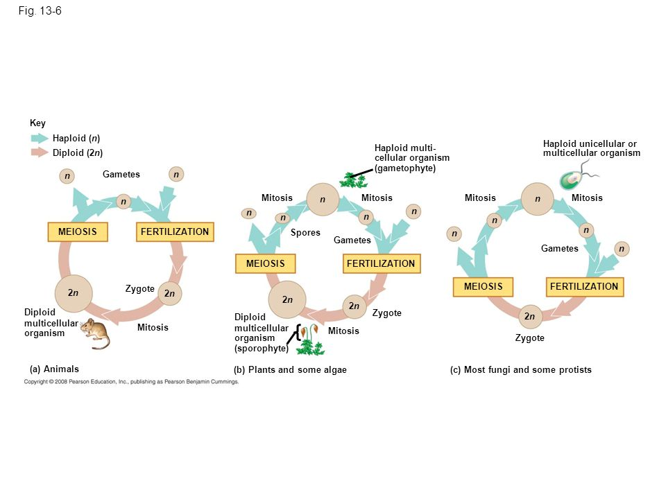 Figure 13.6 Three types of sexual life cycles