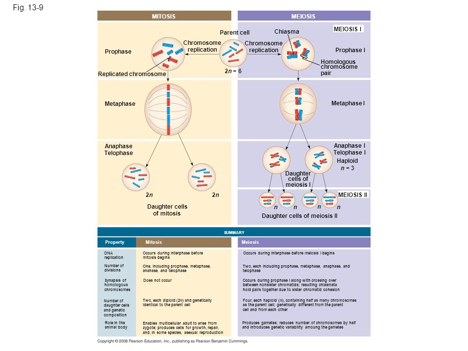 Figure 13.9 A comparison of mitosis and meiosis in diploid cells