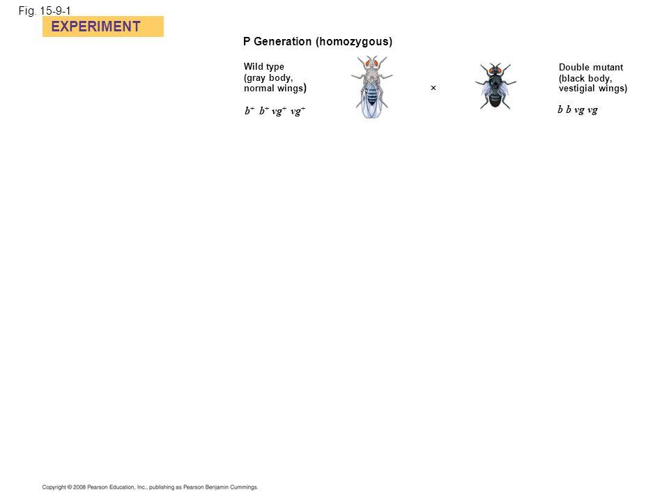EXPERIMENT Fig. 15-9-1 P Generation (homozygous) b+ b+ vg+ vg+