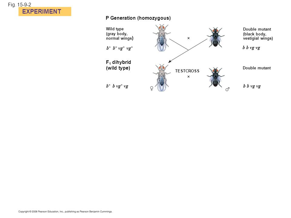EXPERIMENT Fig. 15-9-2 P Generation (homozygous) b+ b+ vg+ vg+