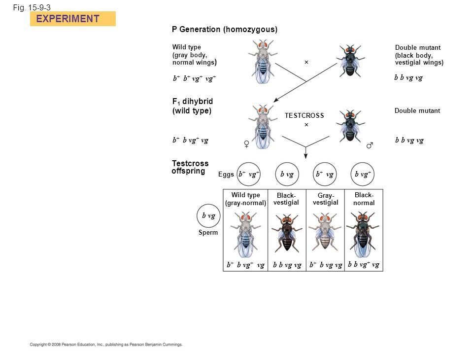 EXPERIMENT Fig. 15-9-3 P Generation (homozygous) b+ b+ vg+ vg+
