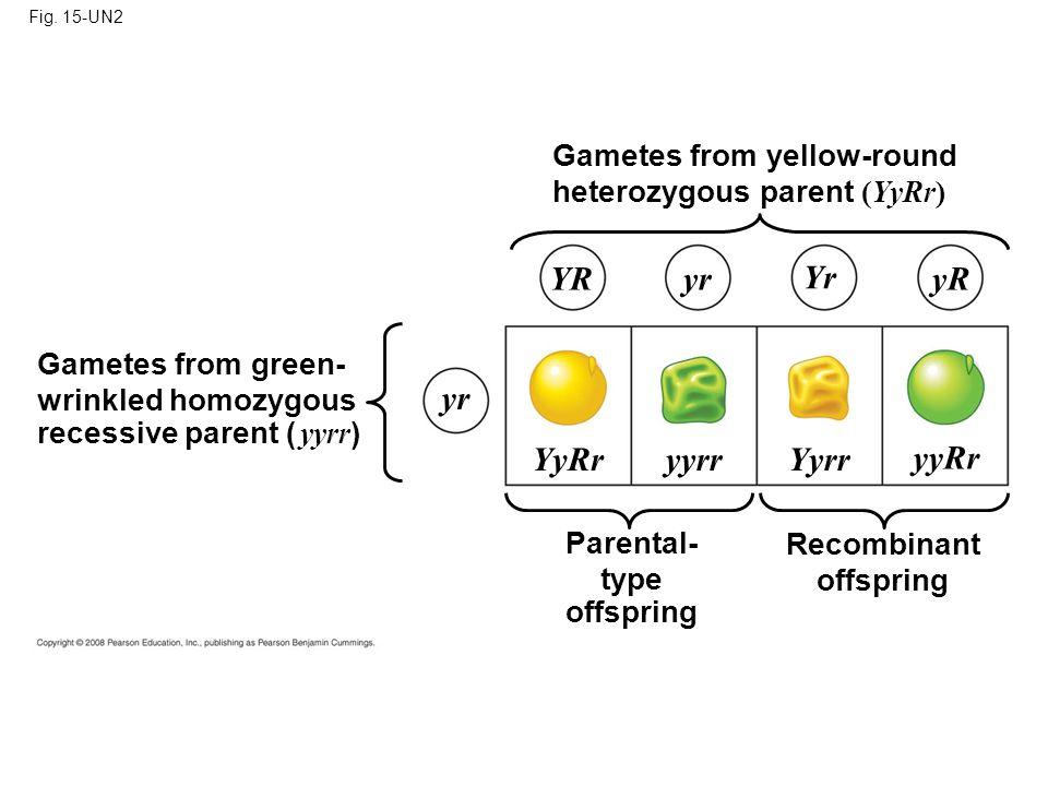 YR yr Yr yR yr YyRr yyrr Yyrr yyRr Gametes from yellow-round