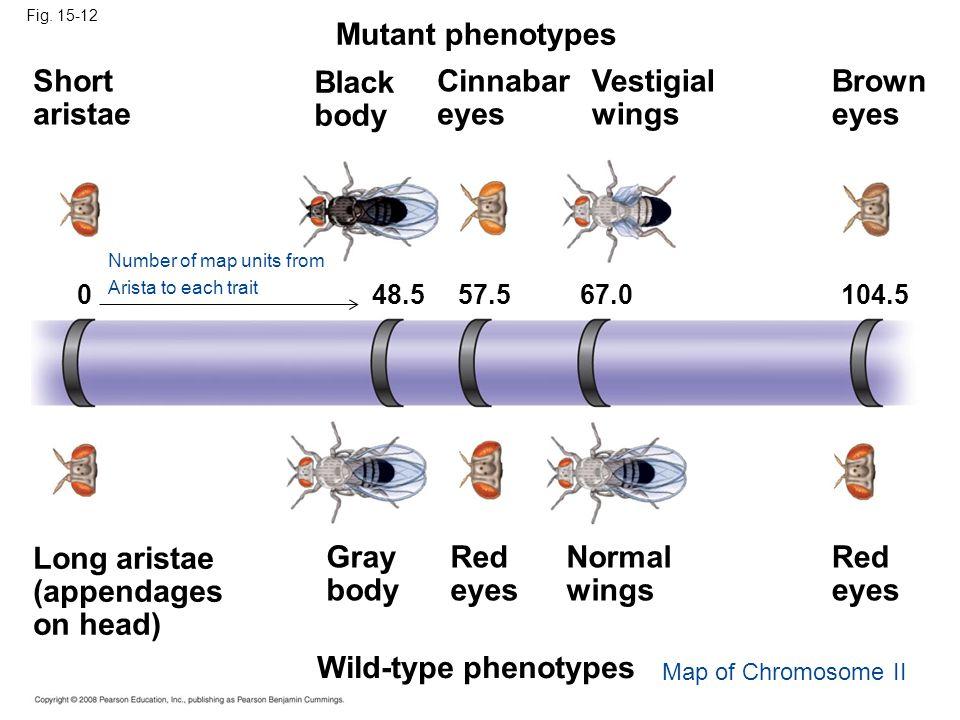 Mutant phenotypes Short aristae Black body Cinnabar eyes Vestigial