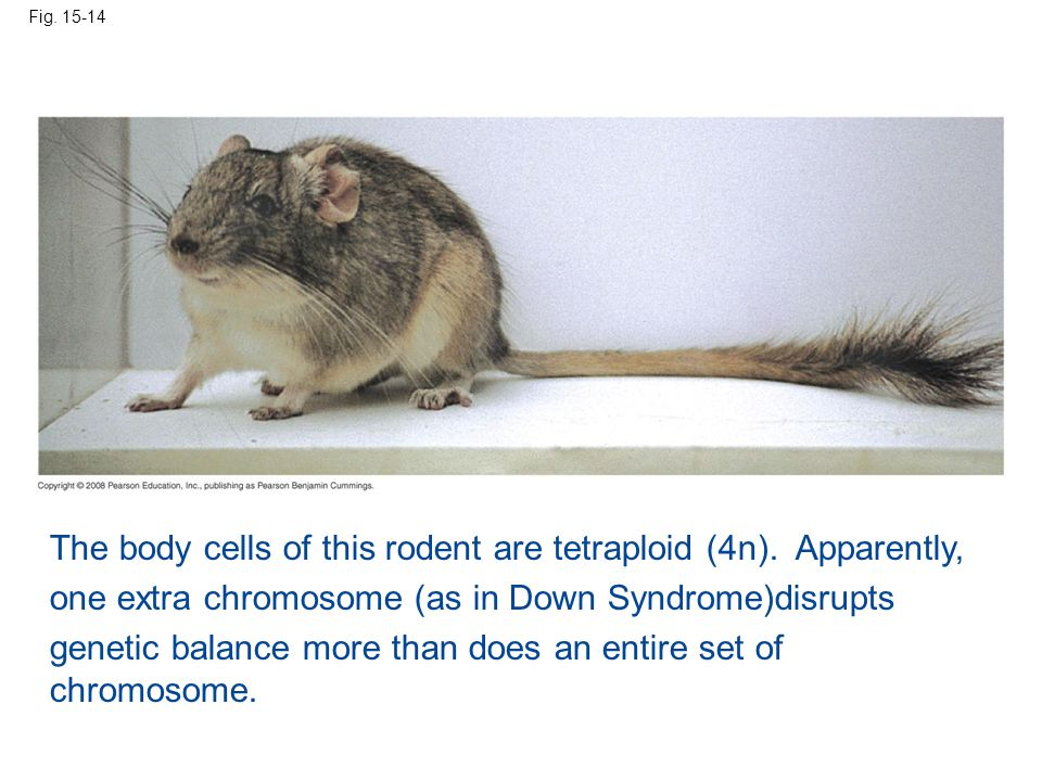 The body cells of this rodent are tetraploid (4n). Apparently,