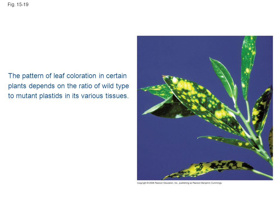 The pattern of leaf coloration in certain