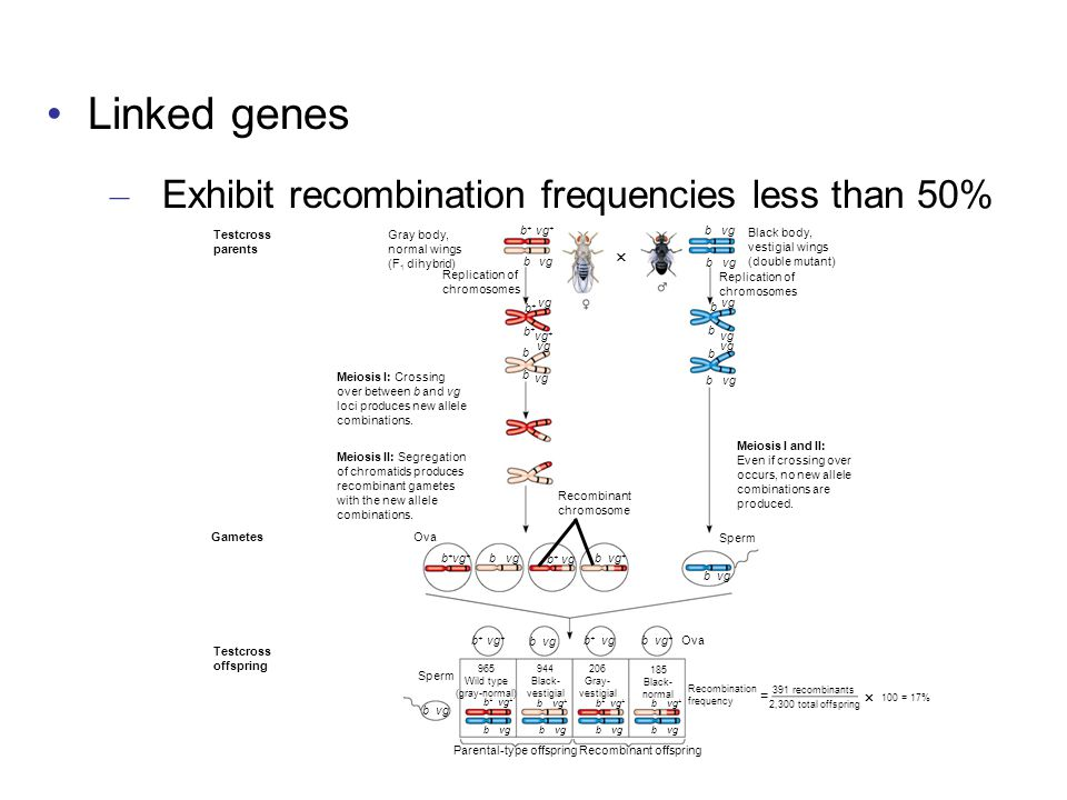 Linked genes Exhibit recombination frequencies less than 50%  =