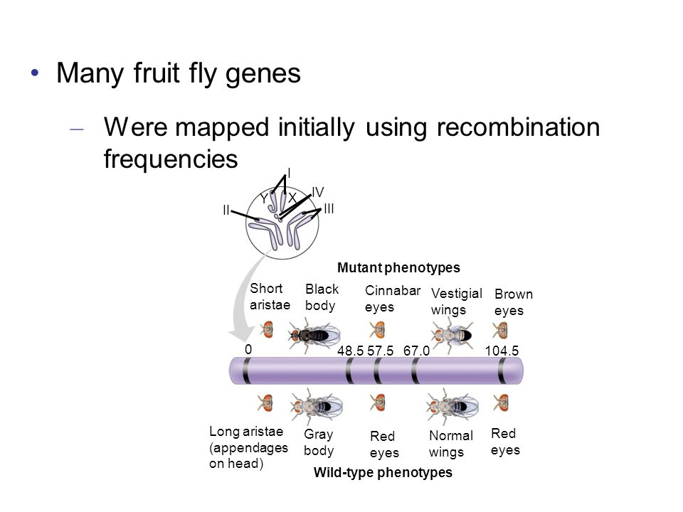 Many fruit fly genes Were mapped initially using recombination frequencies. Mutant phenotypes. Short.