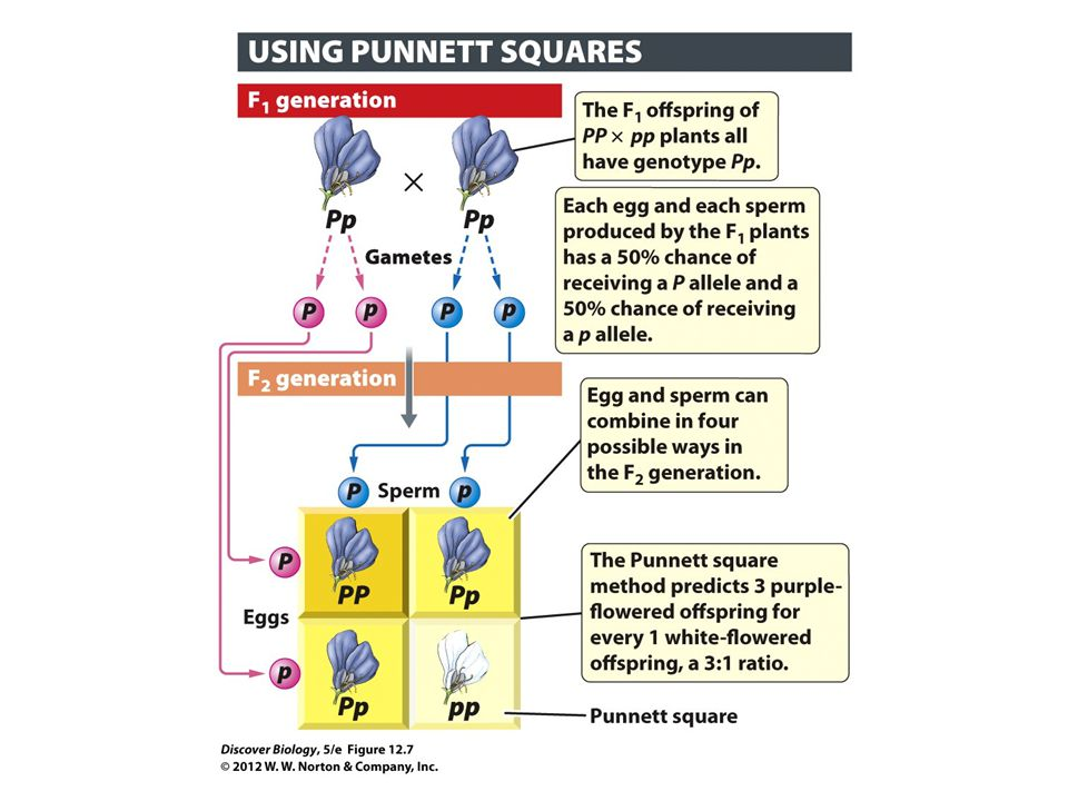 Figure 12.7 The Punnett Square Method Is Used to Predict All Possible Outcomes of a Genetic Cross