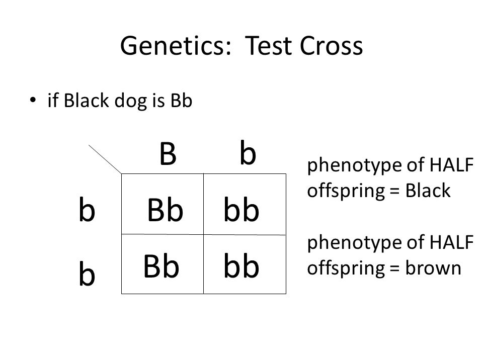 B b b Bb bb Bb bb b Genetics: Test Cross if Black dog is Bb