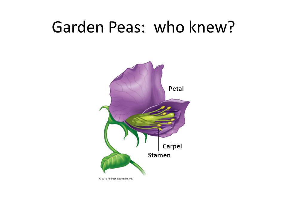 Garden Peas: who knew Stamen Carpel Petal