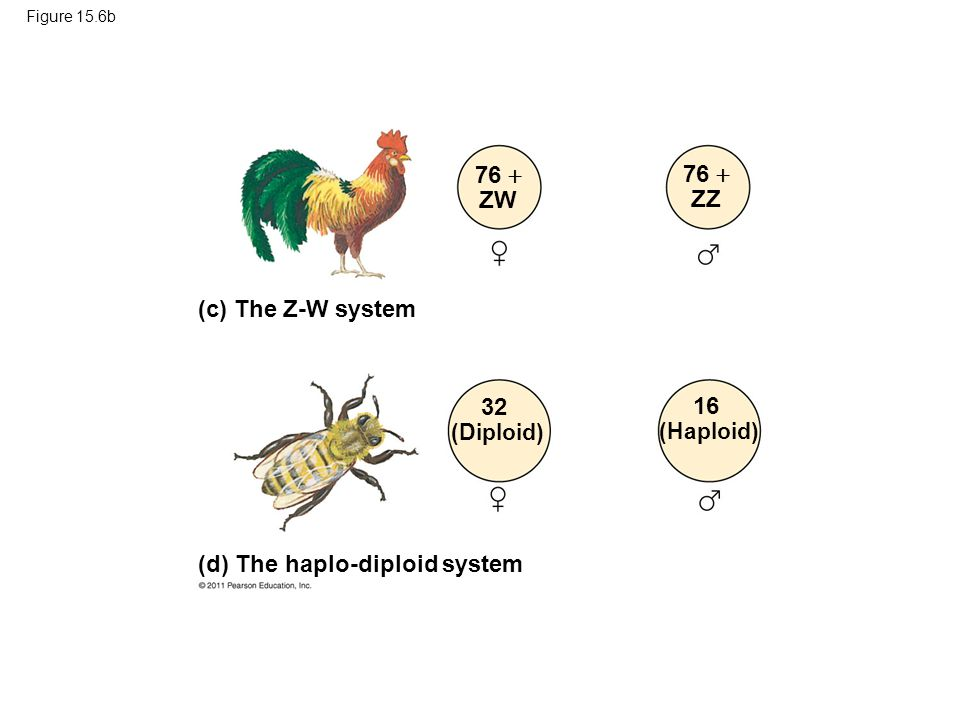 76  ZW 76  ZZ 32 (Diploid) 16 (Haploid)