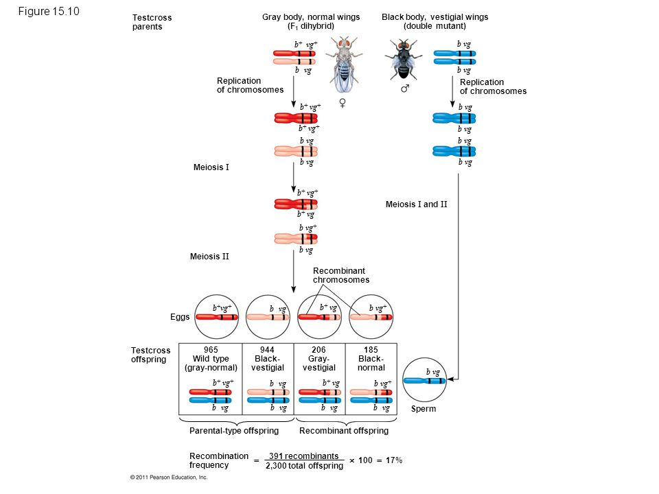 Figure 15.10 Chromosomal basis for recombination of linked genes.
