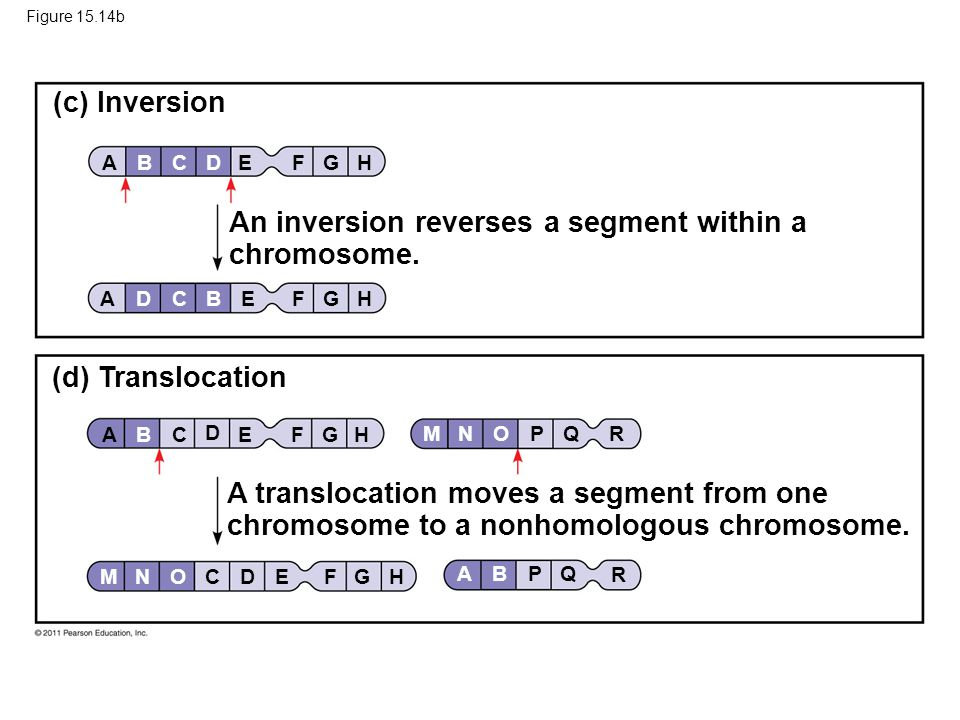 An inversion reverses a segment within a chromosome.