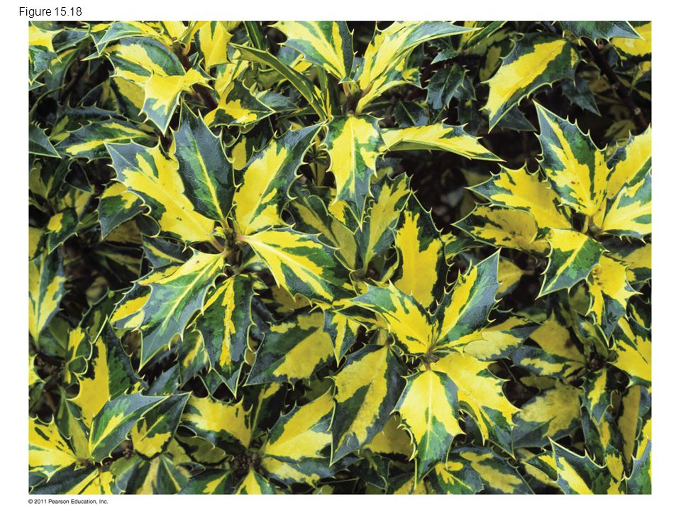Figure 15.18 Figure 15.18 Variegated leaves from English holly (Ilex aquifolium).