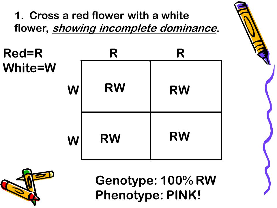 Red=R White=W R R R W W R W R W R W W Genotype: 100% RW