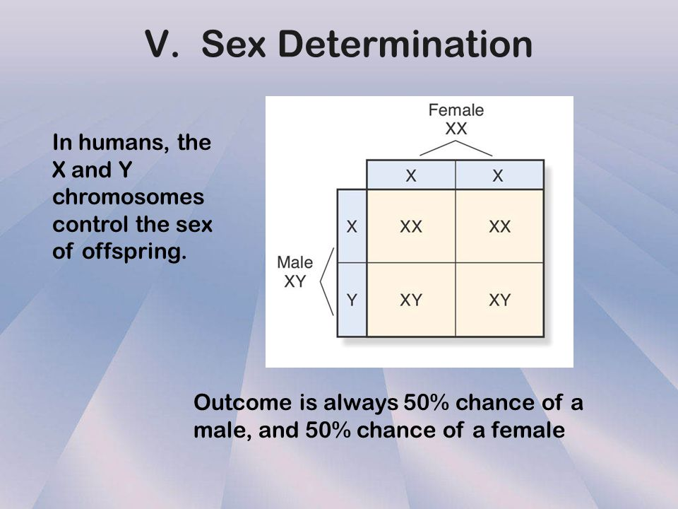 V. Sex Determination In humans, the X and Y chromosomes control the sex of offspring.