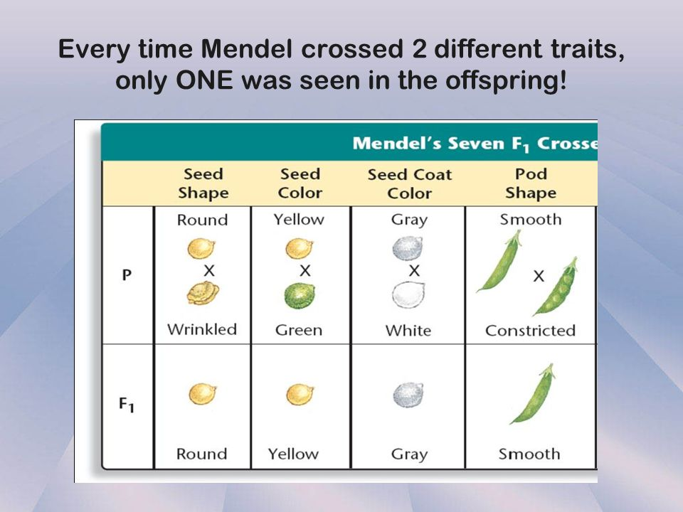 Every time Mendel crossed 2 different traits, only ONE was seen in the offspring!