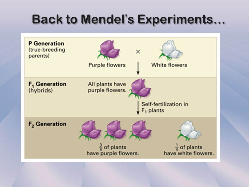 Back to Mendel's Experiments…