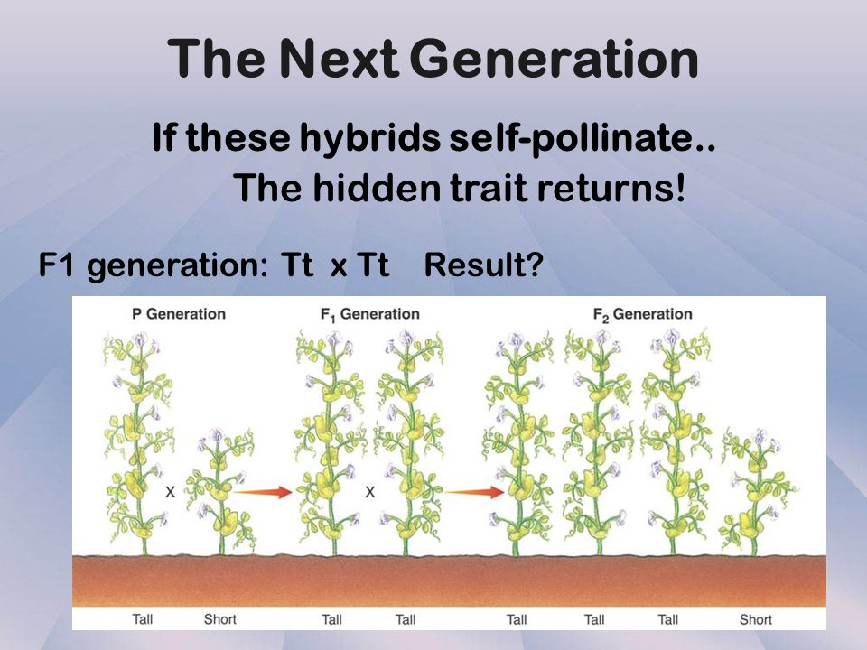 If these hybrids self-pollinate..