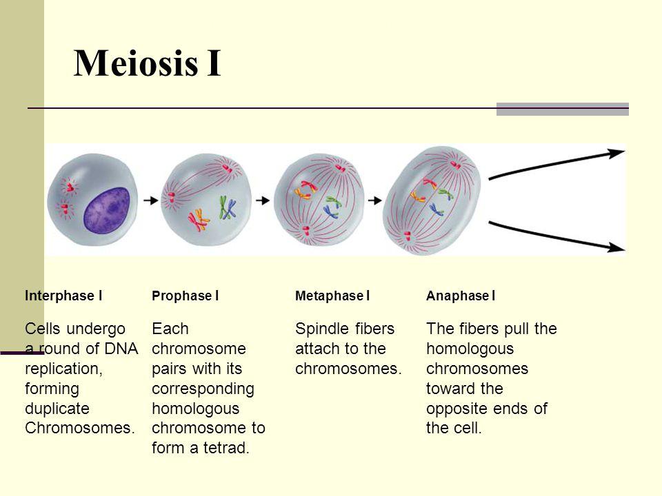 Meiosis I Figure 11-15 Meiosis
