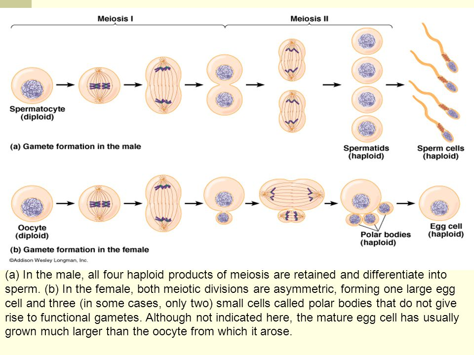 Chapter 18 Sexual Reproduction, Meiosis, and Genetic Recombination. Figure 18-10 Gamete Formation.