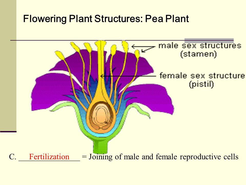 Flowering Plant Structures: Pea Plant