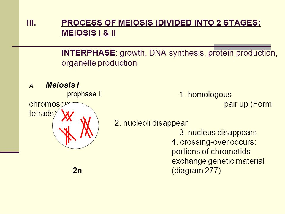 PROCESS OF MEIOSIS (DIVIDED INTO 2 STAGES: MEIOSIS I & II INTERPHASE: growth, DNA synthesis, protein production, organelle production