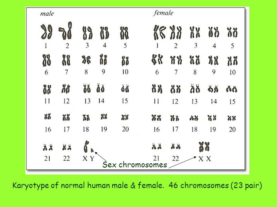 Sex chromosomes Karyotype of normal human male & female. 46 chromosomes (23 pair)