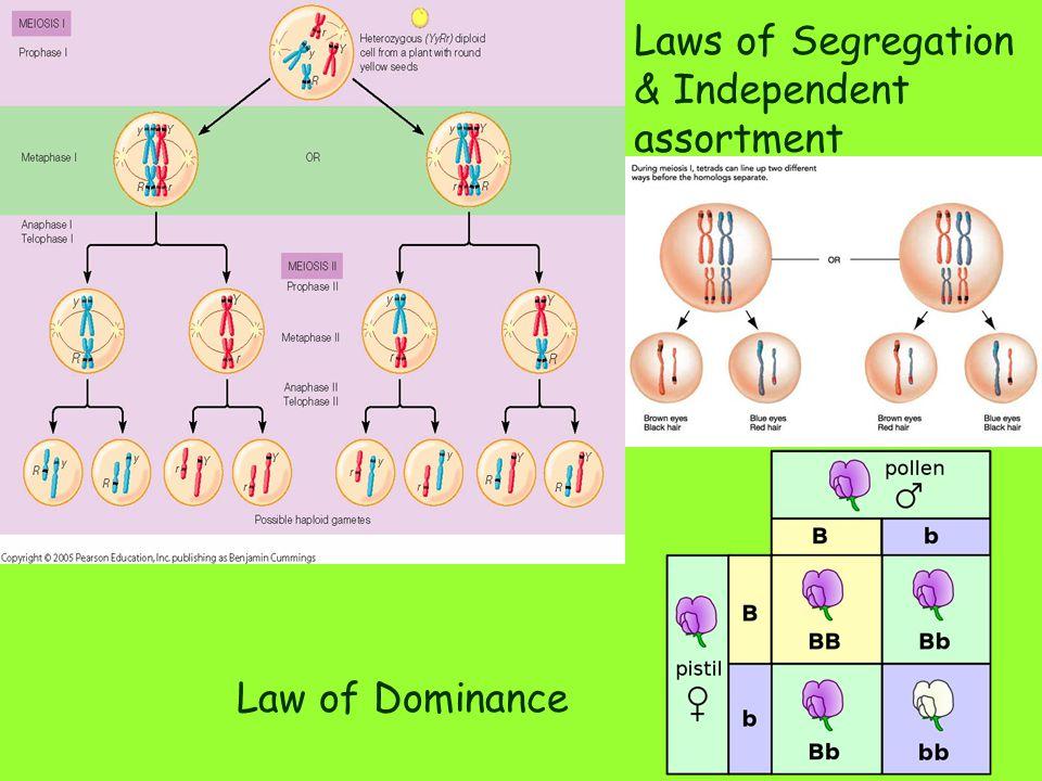 Laws of Segregation & Independent assortment
