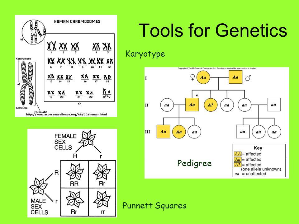 Tools for Genetics Karyotype Pedigree Punnett Squares
