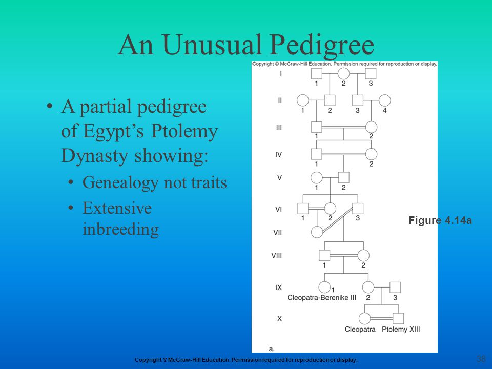 An Unusual Pedigree A partial pedigree of Egypt's Ptolemy Dynasty showing: Genealogy not traits. Extensive inbreeding.
