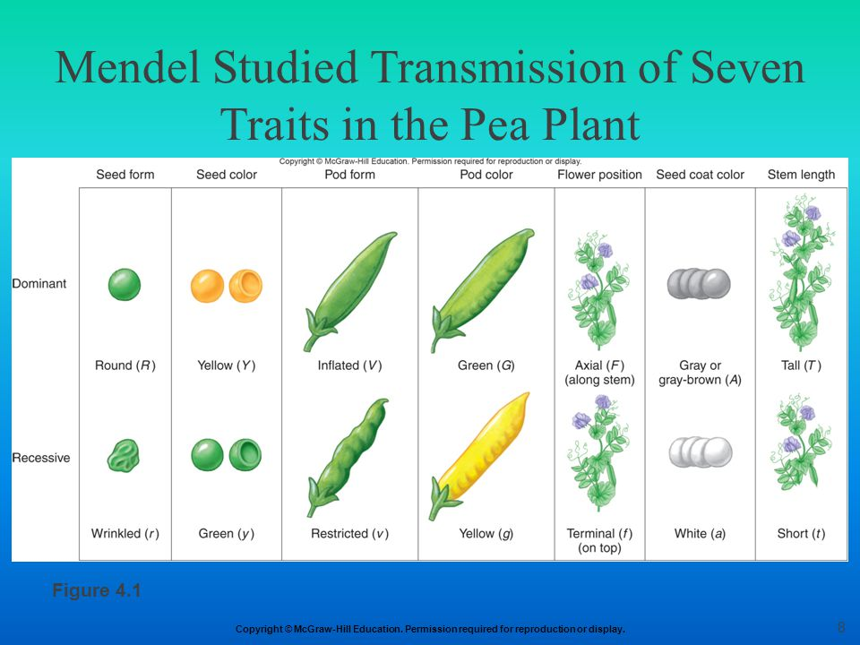 Mendel Studied Transmission of Seven Traits in the Pea Plant