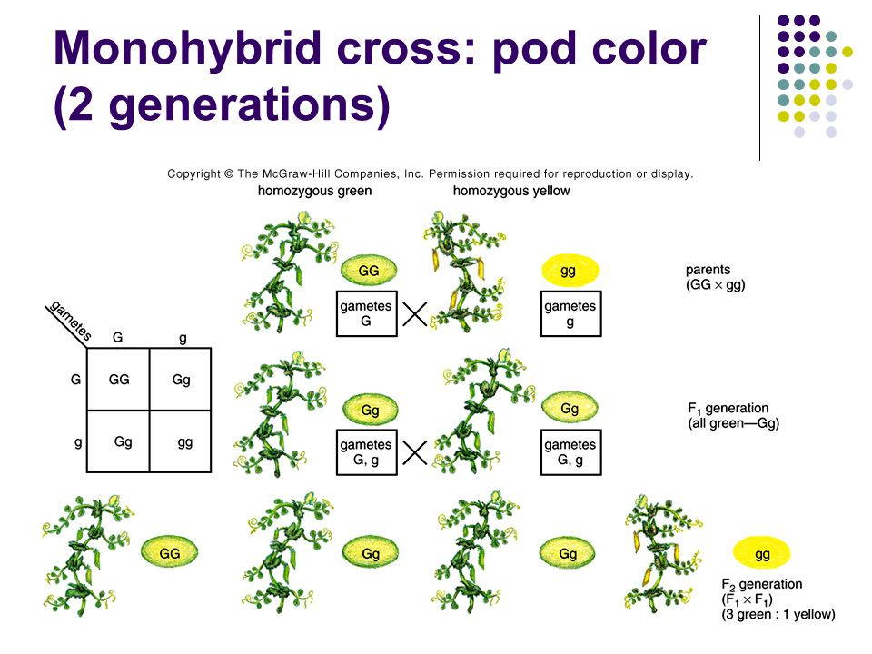 Monohybrid cross: pod color (2 generations)