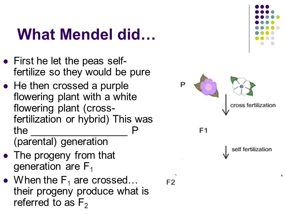What Mendel did… First he let the peas self-fertilize so they would be pure.