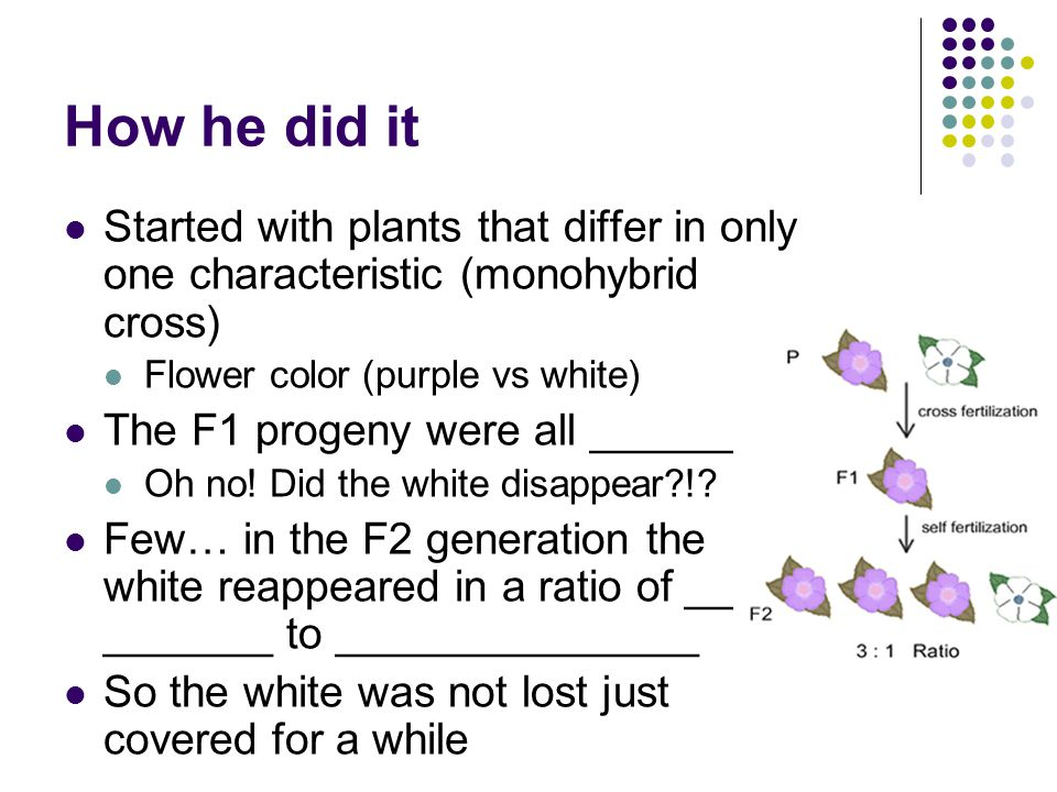 How he did it Started with plants that differ in only one characteristic (monohybrid cross) Flower color (purple vs white)
