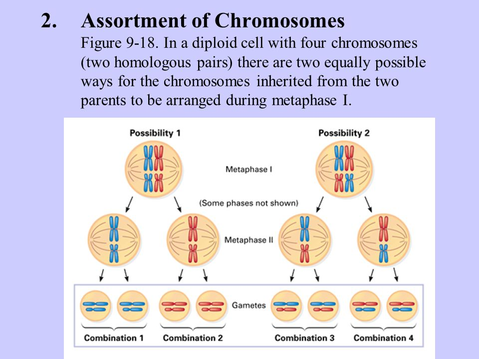 Assortment of Chromosomes Figure 9-18